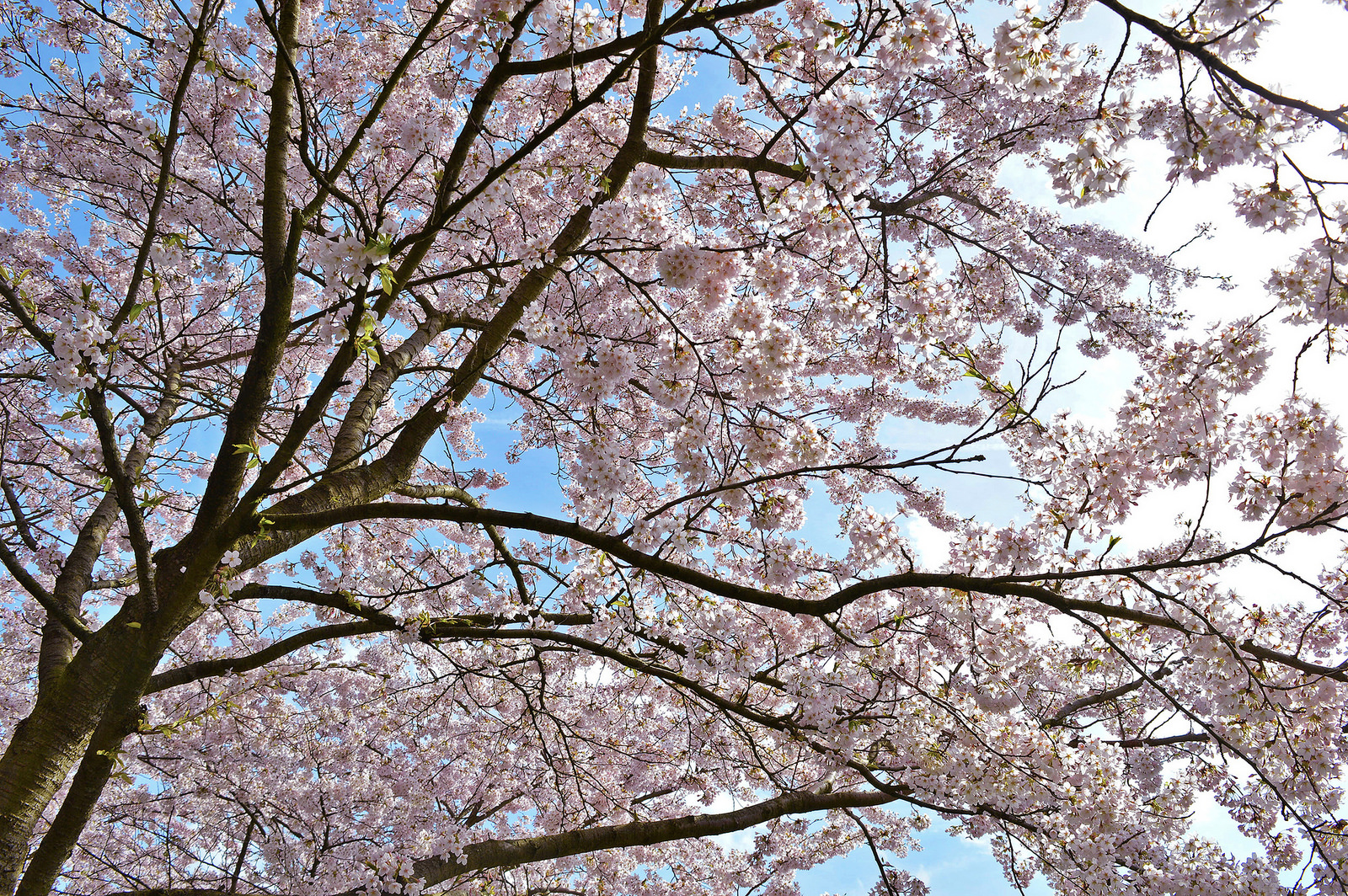 Cherry trees in full bloom (Holland).