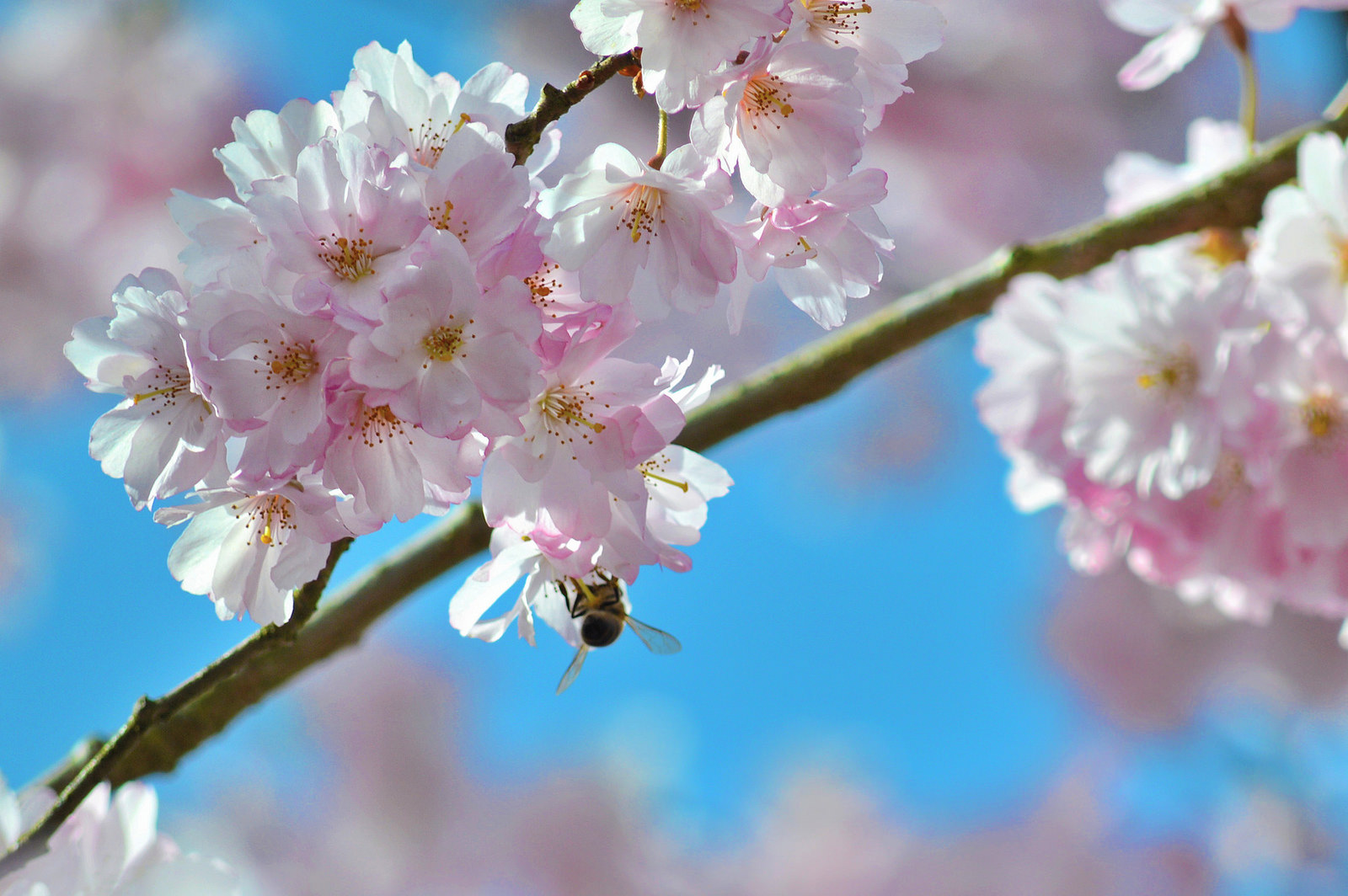 A bee enjoys the cherry blossoms near Amsterdam.